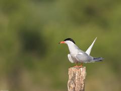 Sterne Pierregarin - Domaine Des Oiseaux, Mazeres, Ariège - 2016 05 28-4.jpg