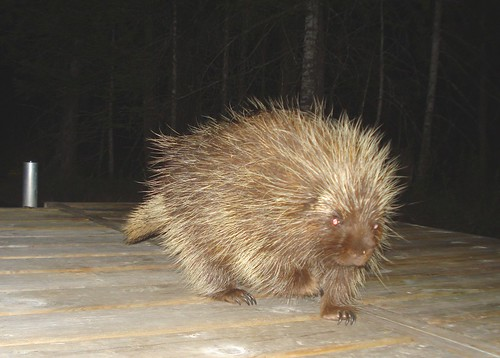 bear wood animal night mi mammal spring dock nocturnal yogi spines porcupine fernridge may2016