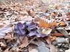 e tre foglie viola