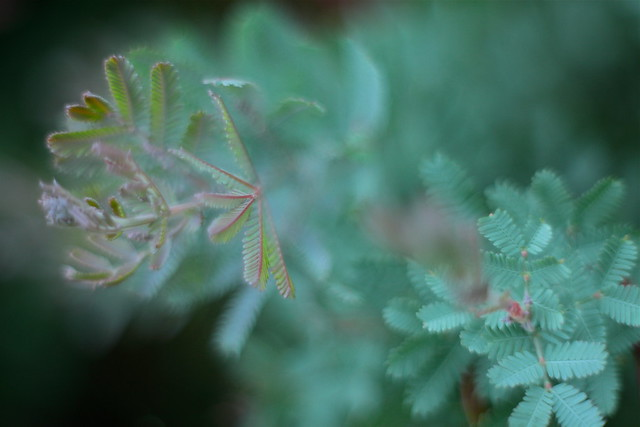 Maybe Mimosa