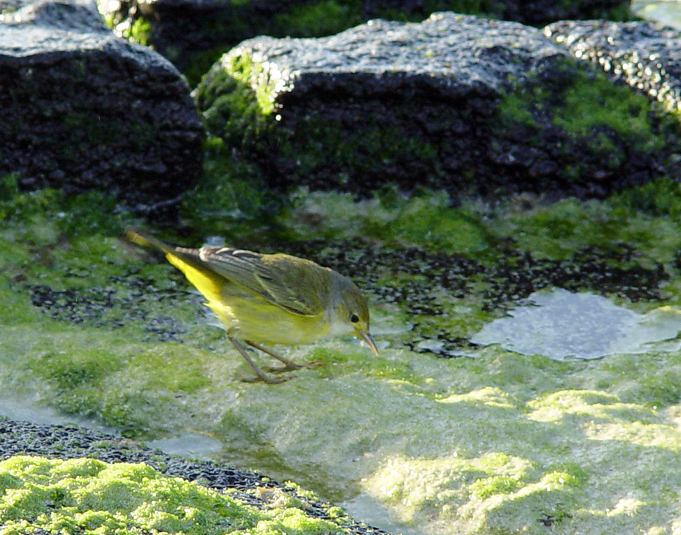 DSC00816 yellow warbler cropped