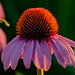 Coneflower at Sunset