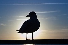 Sea Gull Silhouette 2
