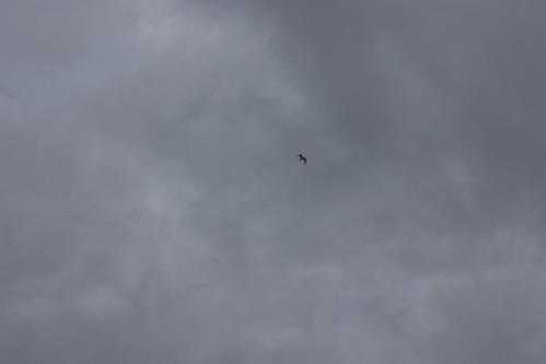 Solo Bird