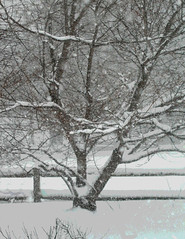 Tree and Fence in Snowstorm (Posterized Photograph) by randubnick