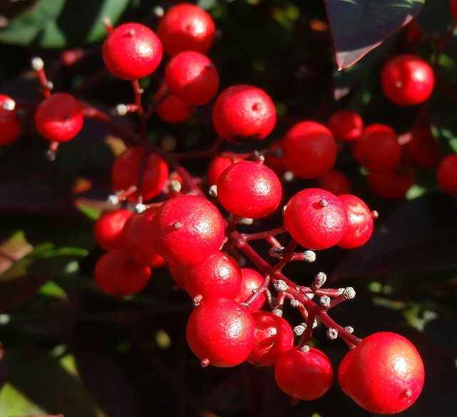 Nandina berries, front of house, sooc