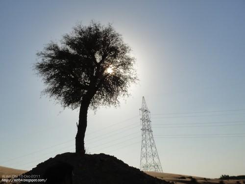 الغاف .... Gaph Tree