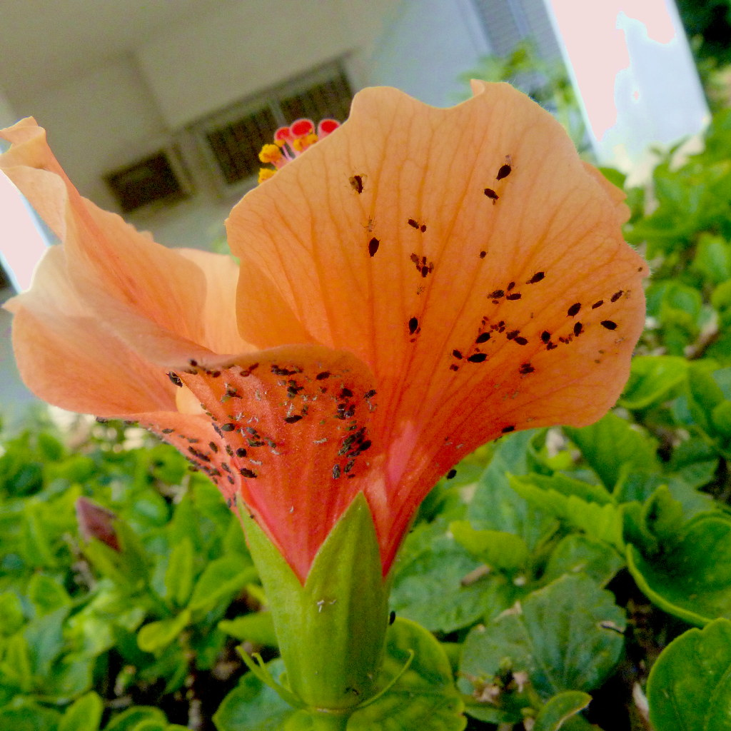 17-12-2011-poor-pestered-hibiscus