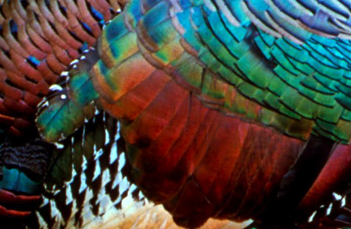 Response: This is an adult ocellated turkey, Meleagris ocellata, ...