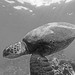 green sea turtle in black and white by bluewavechris