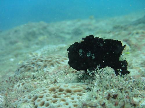 渾身長滿了各種顏色的斑點、疙瘩、結節的躄魚,看起來既像珊瑚,又像附著在海底的海綿。圖片提供:林育朱。
