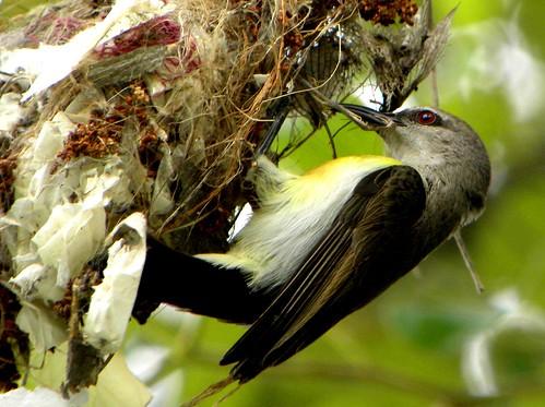 bird nature female nest bangalore coolpix p90 sunbird purplerumpedsunbird nikoncoolpixp90 sunbirdnest purplerumpedsunbirdfemale santhoshgv santhoshvijayanandaflickr gvpictures purplerumpedsunbirdnest birdingplacesaroundbangalore