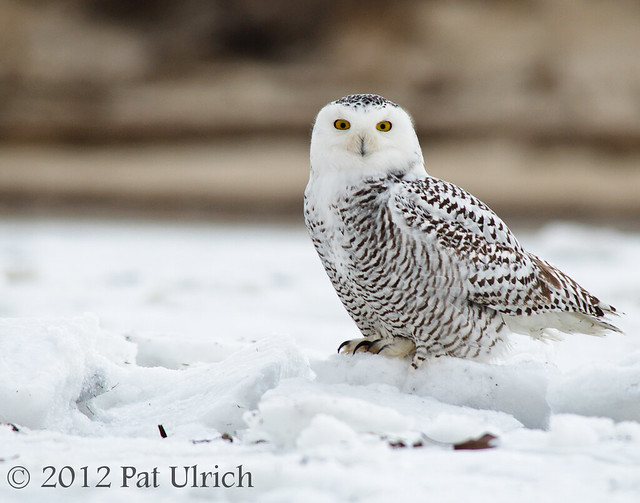 Success -- a snowy owl!