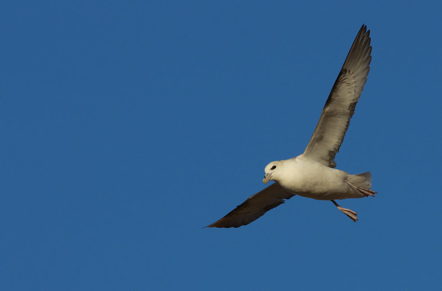 fulmar in blue sky