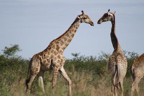 Giraffes - Etosha