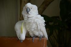 parakeet(0.0), cockatoo(1.0), animal(1.0), parrot(1.0), wing(1.0), white(1.0), pet(1.0), sulphur crested cockatoo(1.0), fauna(1.0), beak(1.0), bird(1.0),