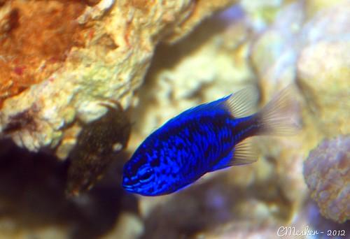Sapphire Damsel Fish