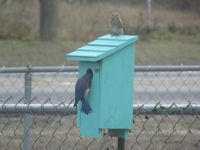 Blue Birds checking out nextbox 05