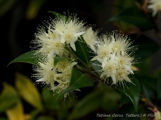 Backhousia myrtifolia (Grey, or Cinnamon Myrtle)