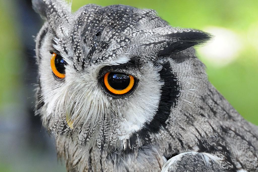 белолицая совка сова совушка птица взгляд ветка дерево лес