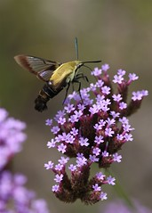 Hemaris diffinis, Snowberry Clearwing Moth