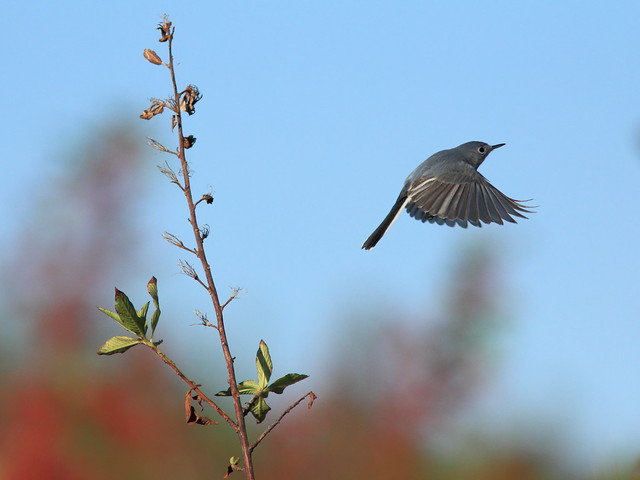 Blue-gray Gnatcatcher 3-20120120