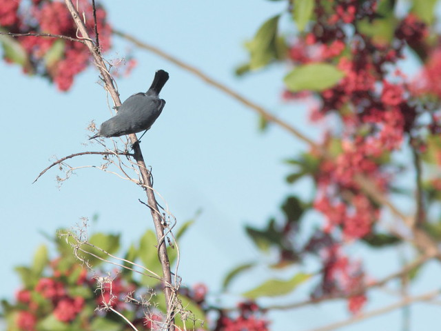 Blue-gray Gnatcatcher 4-20120120