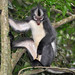 "Thomas' leaf monkey ""wow'ing"" by Arthur Anker"