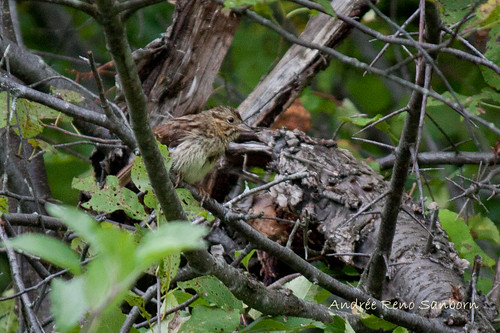 A Wet Little Sparrow (Song Sparrow, Melospiza melodia)-6.jpg