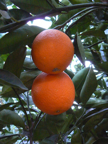 Yummy oranges ready for picking