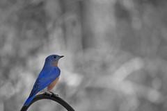 Perched Bluebird