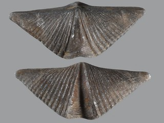 Brachiopod, Mucrospirifer thedfordensis,  Fossil No. F-202