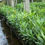 Calophyllum inophyllum seedlings