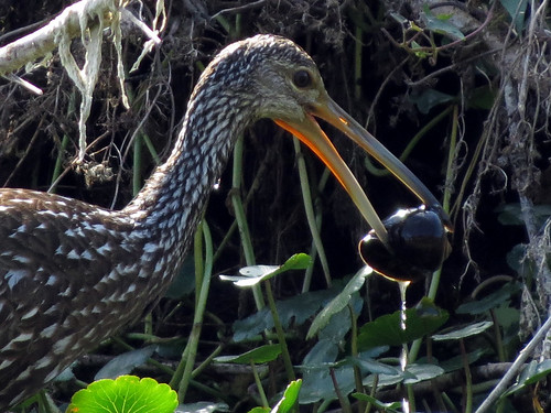 Limpkin with monster apple snail