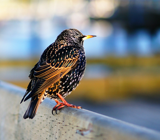 European Starling at Vancouver Granville Island - Great Reasons to buy a 85mm Lens - Tips and Examples