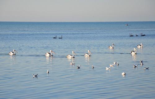 Pelicans 01m