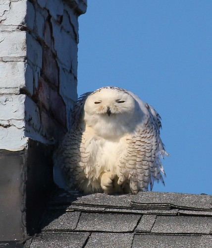 Snowy Owl !!