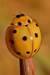 Lady Beetle (Megalocaria dilatata, Coccinellinae)