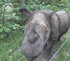 Nosy #Andatu is coming up to say hello! #TeamRhino #SumatranRhino #rhino