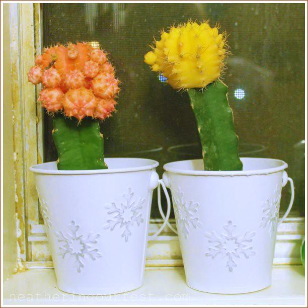cactus christmas planters