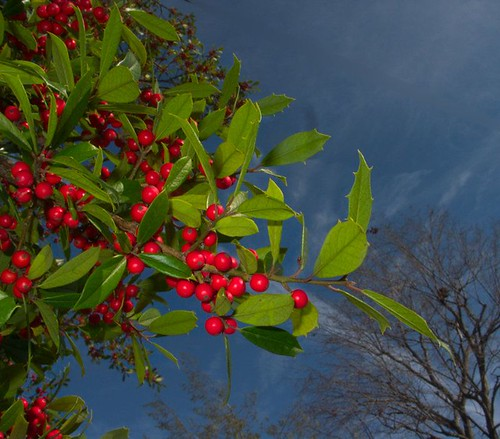 Holly on a Windy Day, 11-26-2011, CRW_0004-2