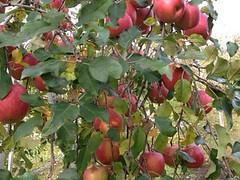 今年のリンゴは大きい
