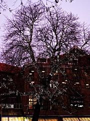 Tree York