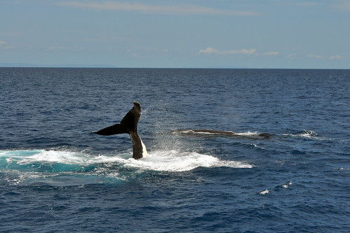 Humpback whales - Mom, Dad, and a calf!
