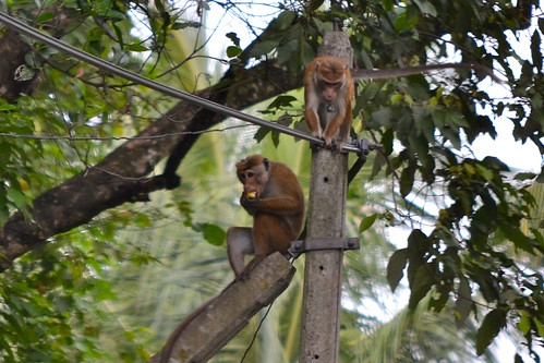 Monkeys on the way to Kandalama