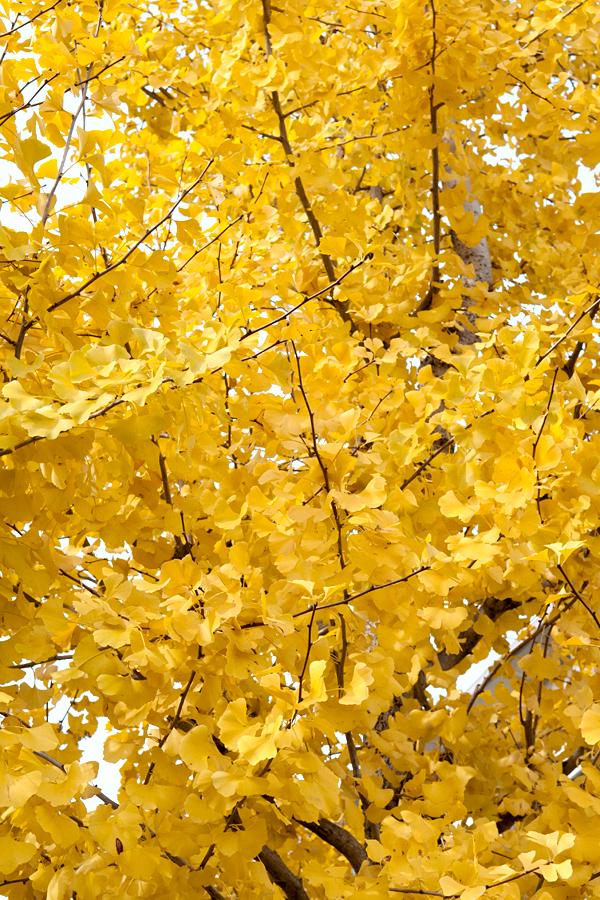 銀杏の木|滋賀県大津市