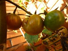 Tomates ramellet madurando en tomatera