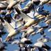 IMG_9367 Snow Geese, Sacramento National Wildlife Refuge by ThorsHammer94539