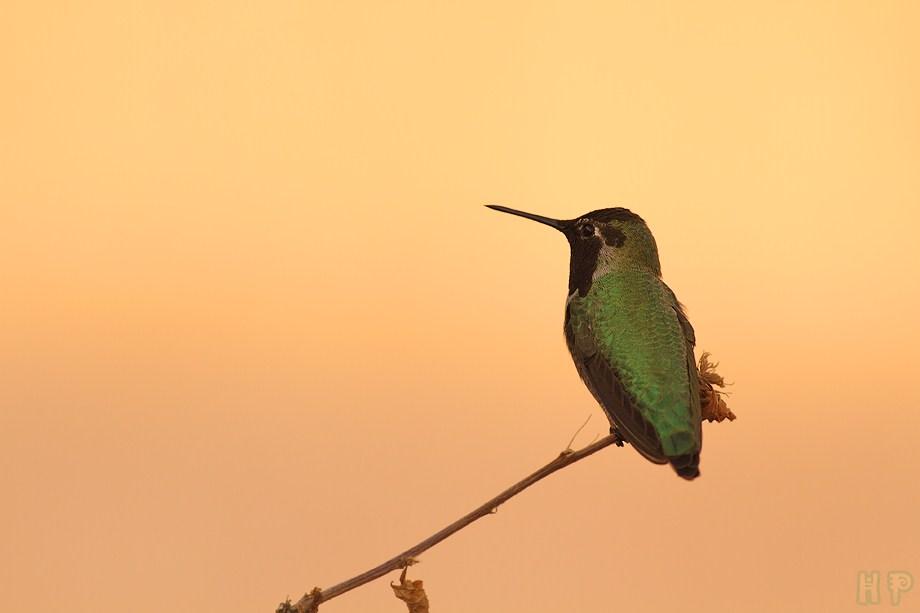 Anna's Hummingbird 120711-8