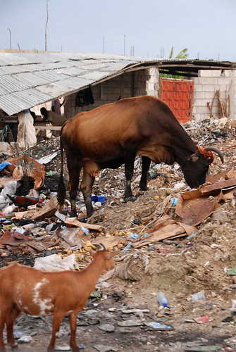 Animals forage in trash on the southern edge of Port-au-Prince.